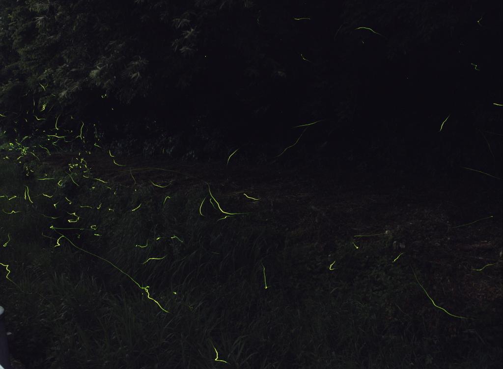 Firefly20170610_02s.jpg